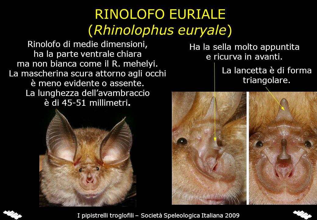 RINOLOFO EURIALE (Rhinolophus euryale) Ha la sella molto appuntita e ricurva in avanti. La lancetta è di forma triangolare. I pipistrelli troglofili –