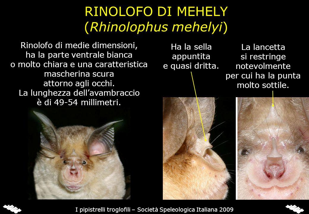 RINOLOFO DI MEHELY (Rhinolophus mehelyi) Rinolofo di medie dimensioni, ha la parte ventrale bianca o molto chiara e una caratteristica mascherina scur