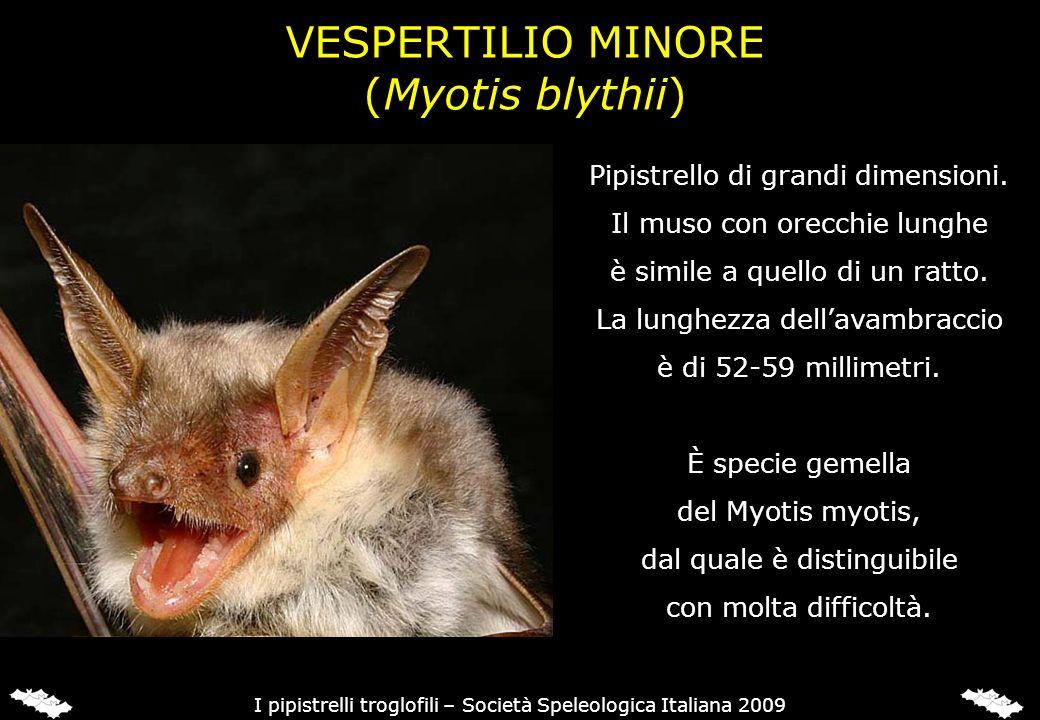 VESPERTILIO MINORE (Myotis blythii) Pipistrello di grandi dimensioni. Il muso con orecchie lunghe è simile a quello di un ratto. La lunghezza dellavam