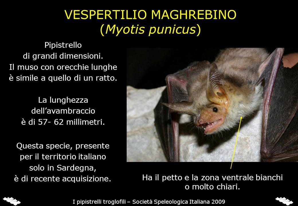 VESPERTILIO MAGHREBINO (Myotis punicus) Pipistrello di grandi dimensioni. Il muso con orecchie lunghe è simile a quello di un ratto. La lunghezza dell