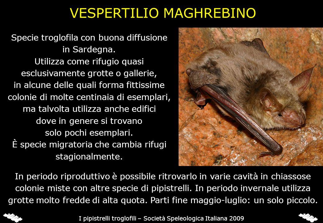 Specie troglofila con buona diffusione in Sardegna. Utilizza come rifugio quasi esclusivamente grotte o gallerie, in alcune delle quali forma fittissi