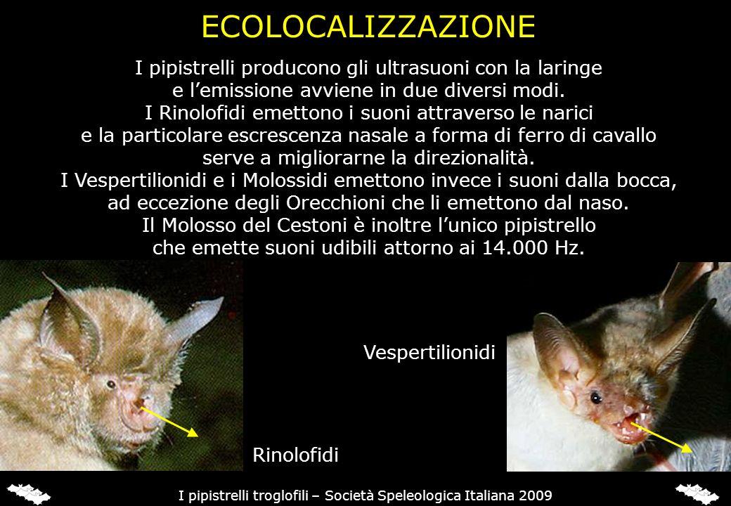 ORECCHIONI (Plecotus sp.) Gli Orecchioni sono dei pipistrelli legati principalmente agli ambienti boschivi e non vengono considerati strettamente troglofili.