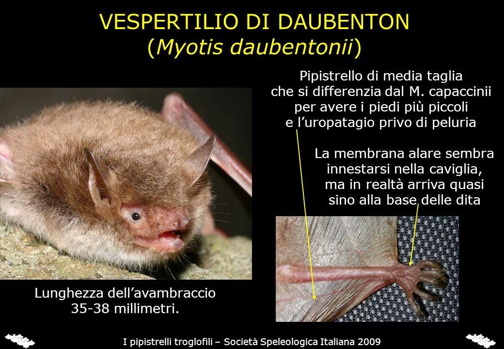 VESPERTILIO DI DAUBENTON (Myotis daubentonii) Pipistrello di media taglia che si differenzia dal M. capaccinii per avere i piedi più piccoli e luropat