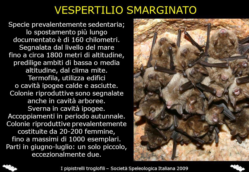 Specie prevalentemente sedentaria; lo spostamento più lungo documentato è di 160 chilometri. Segnalata dal livello del mare fino a circa 1800 metri di