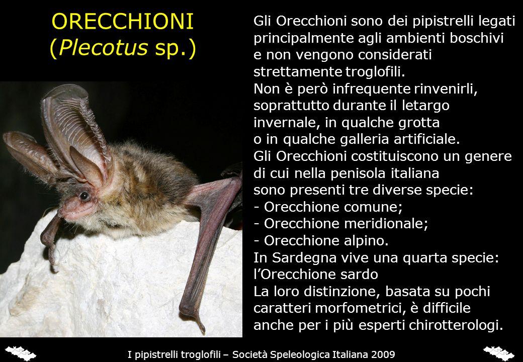 ORECCHIONI (Plecotus sp.) Gli Orecchioni sono dei pipistrelli legati principalmente agli ambienti boschivi e non vengono considerati strettamente trog