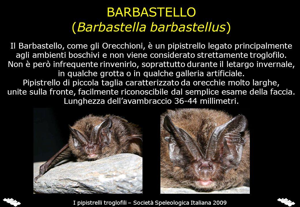 BARBASTELLO (Barbastella barbastellus) Il Barbastello, come gli Orecchioni, è un pipistrello legato principalmente agli ambienti boschivi e non viene