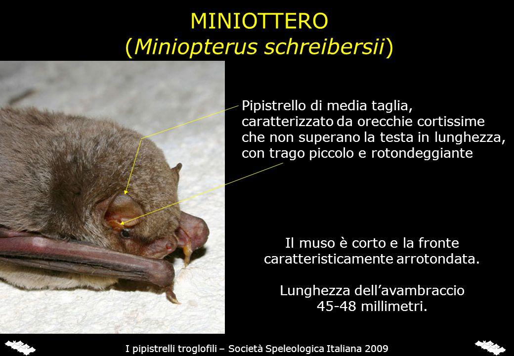 MINIOTTERO (Miniopterus schreibersii) Pipistrello di media taglia, caratterizzato da orecchie cortissime che non superano la testa in lunghezza, con t