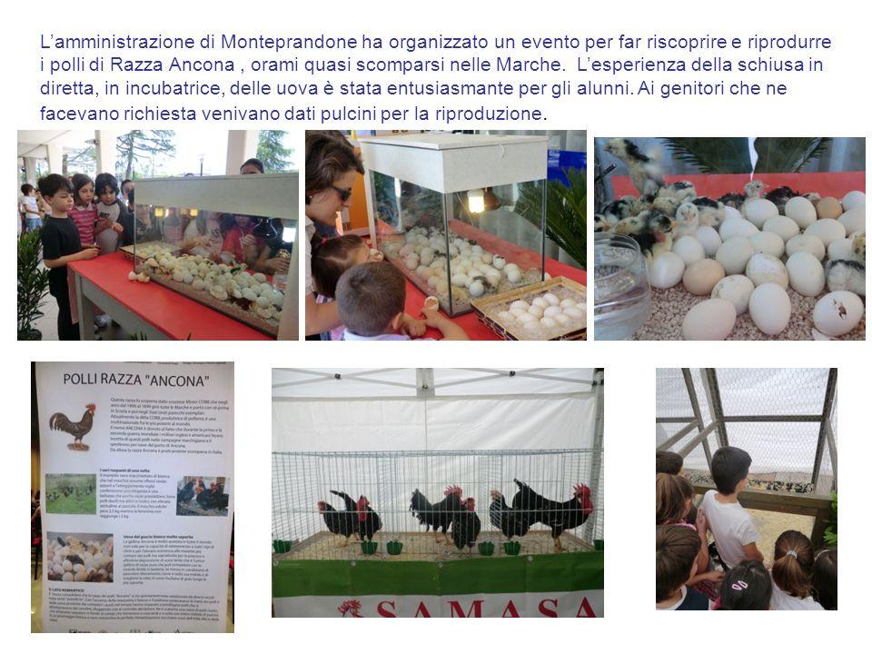 Lamministrazione di Monteprandone ha organizzato un evento per far riscoprire e riprodurre i polli di Razza Ancona, orami quasi scomparsi nelle Marche