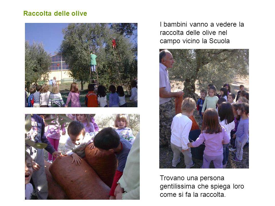 Raccolta delle olive I bambini vanno a vedere la raccolta delle olive nel campo vicino la Scuola Trovano una persona gentilissima che spiega loro come