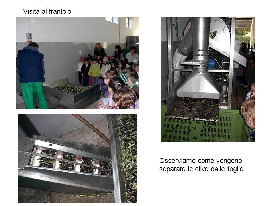 Visita al frantoio Osserviamo come vengono separate le olive dalle foglie