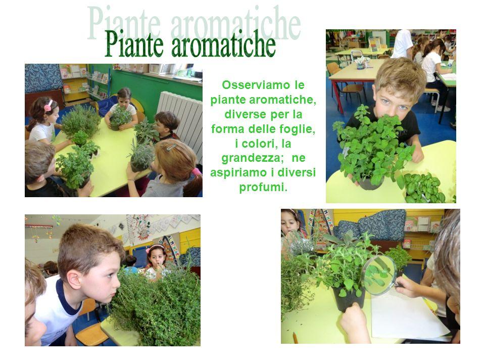Osserviamo le piante aromatiche, diverse per la forma delle foglie, i colori, la grandezza; ne aspiriamo i diversi profumi.