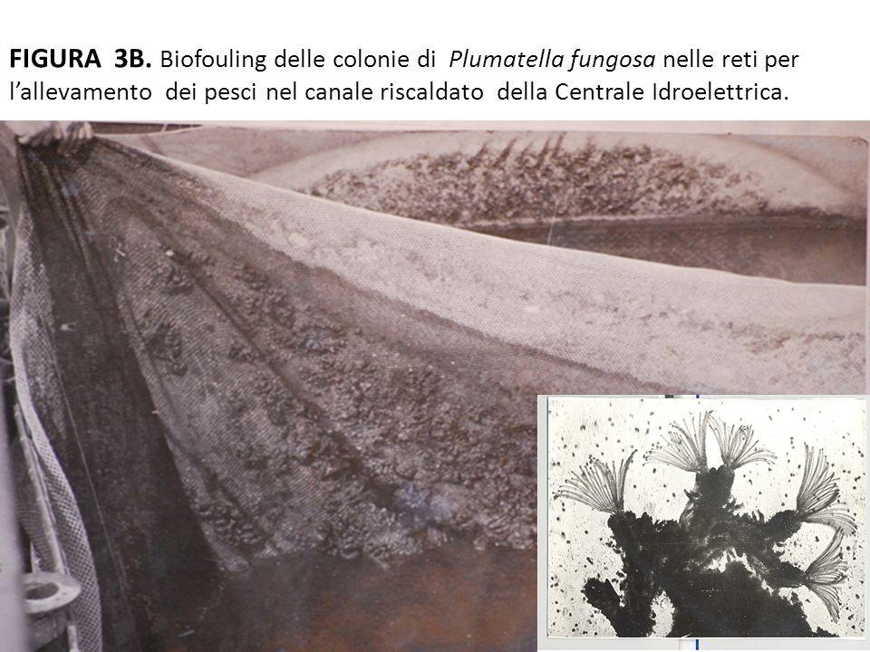 FIGURA 3B. Biofouling delle colonie di Plumatella fungosa nelle reti per lallevamento dei pesci nel canale riscaldato della Centrale Idroelettrica.