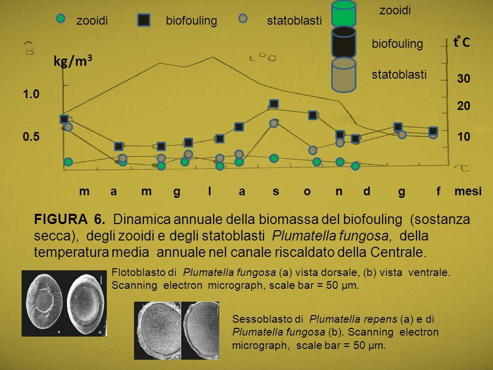 1.0 0.5 kg/m 3 10 20 30 t ̊C FIGURA 6. Dinamica annuale della biomassa del biofouling (sostanza secca), degli zooidi e degli statoblasti Plumatella fu
