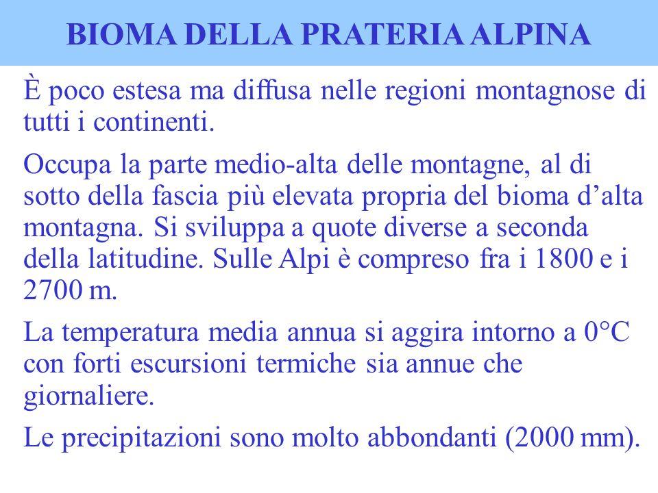 BIOMA DELLA PRATERIA ALPINA È poco estesa ma diffusa nelle regioni montagnose di tutti i continenti. Occupa la parte medio-alta delle montagne, al di