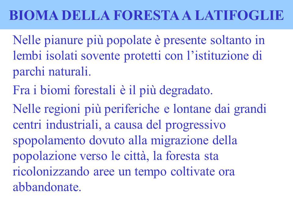 BIOMA DELLA FORESTA A LATIFOGLIE Nelle pianure più popolate è presente soltanto in lembi isolati sovente protetti con listituzione di parchi naturali.
