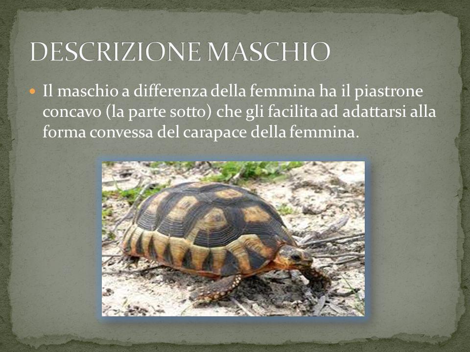 REGNO: animalia CLASSE: reptilia ORDINE: chelonia FAMIGLIA: testodinidae GENERE: geochelone SPECIE: ginigra