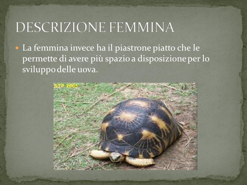 Il maschio a differenza della femmina ha il piastrone concavo (la parte sotto) che gli facilita ad adattarsi alla forma convessa del carapace della fe