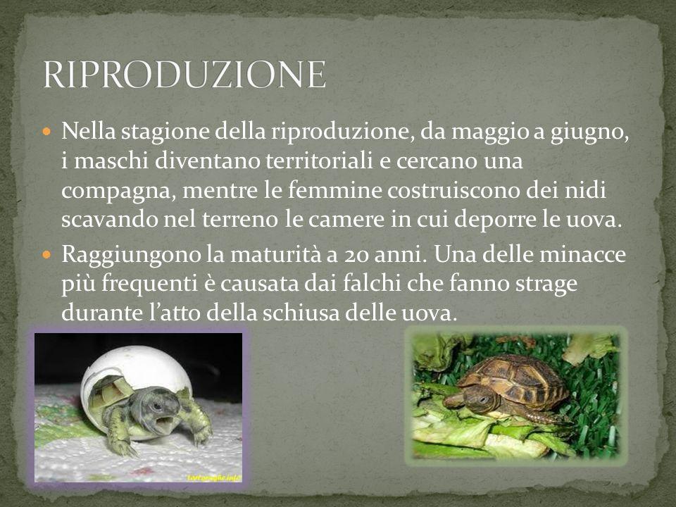 La femmina invece ha il piastrone piatto che le permette di avere più spazio a disposizione per lo sviluppo delle uova.