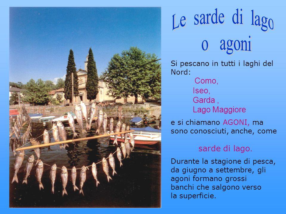 Si pescano in tutti i laghi del Nord: Como, Iseo, Garda, Lago Maggiore e si chiamano AGONI, ma sono conosciuti, anche, come sarde di lago. Durante la