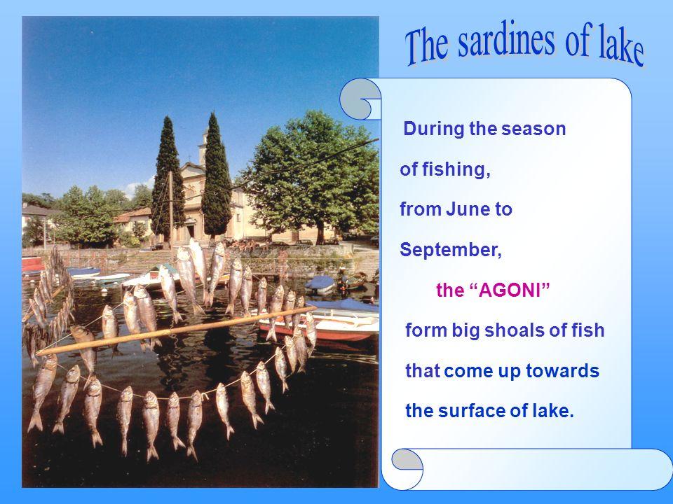Durante la stagione di pesca, da giugno a settembre, gli agoni formano grossi banchi che salgono verso la superficie. During the season of fishing, fr