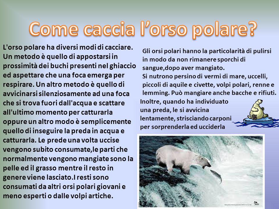 Gli orsi polari sono animali carnivori ed il loro cibo principale ela foca dagli anelli (Pusa hispida) ma mangiano e cacciano senza problemi anche alt