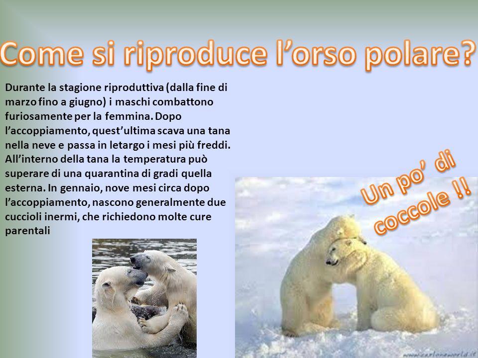 L'orso polare ha diversi modi di cacciare. Un metodo è quello di appostarsi in prossimità dei buchi presenti nel ghiaccio ed aspettare che una foca em