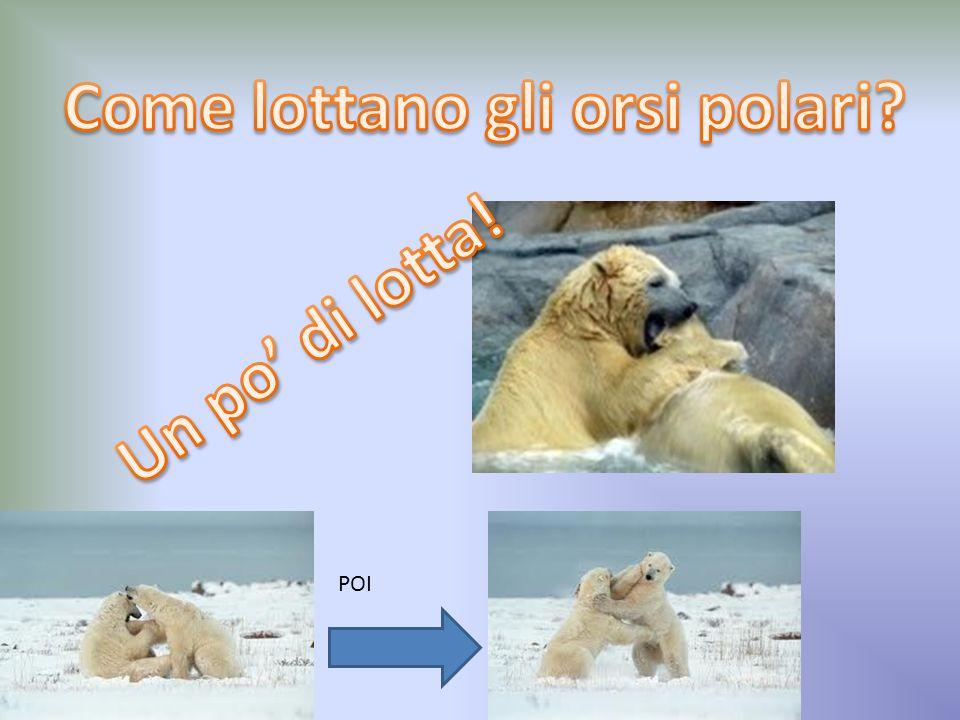 I piccoli dellorso polare riescono a sopravvivere al clima rigido grazie al latte materno, molto ricco di grassi e al folto pelo che ricopre tutto il