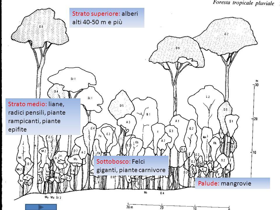 Strato superiore: alberi alti 40-50 m e più Strato medio: liane, radici pensili, piante rampicanti, piante epifite Sottobosco: Felci giganti, piante c