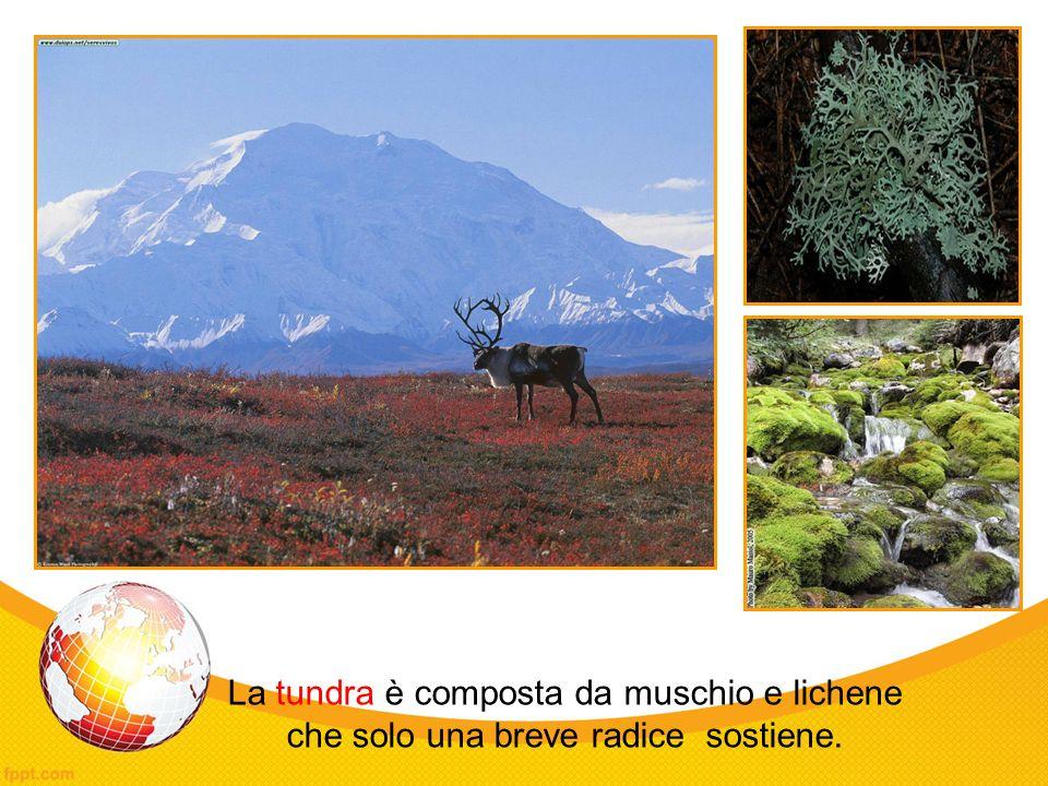 La tundra è composta da muschio e lichene che solo una breve radice sostiene.