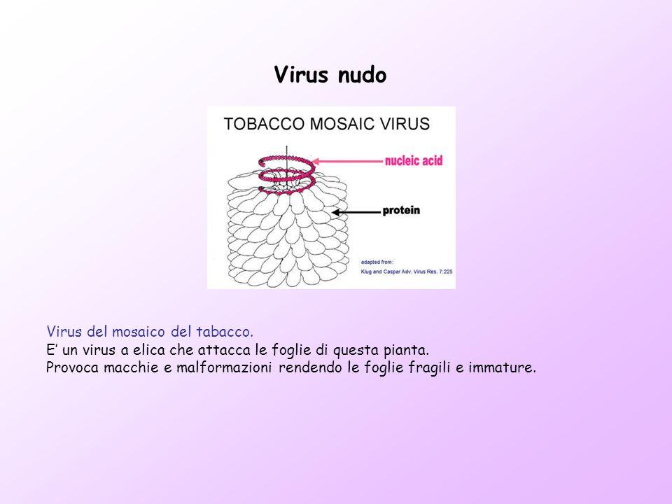 Virus del mosaico del tabacco. E un virus a elica che attacca le foglie di questa pianta. Provoca macchie e malformazioni rendendo le foglie fragili e