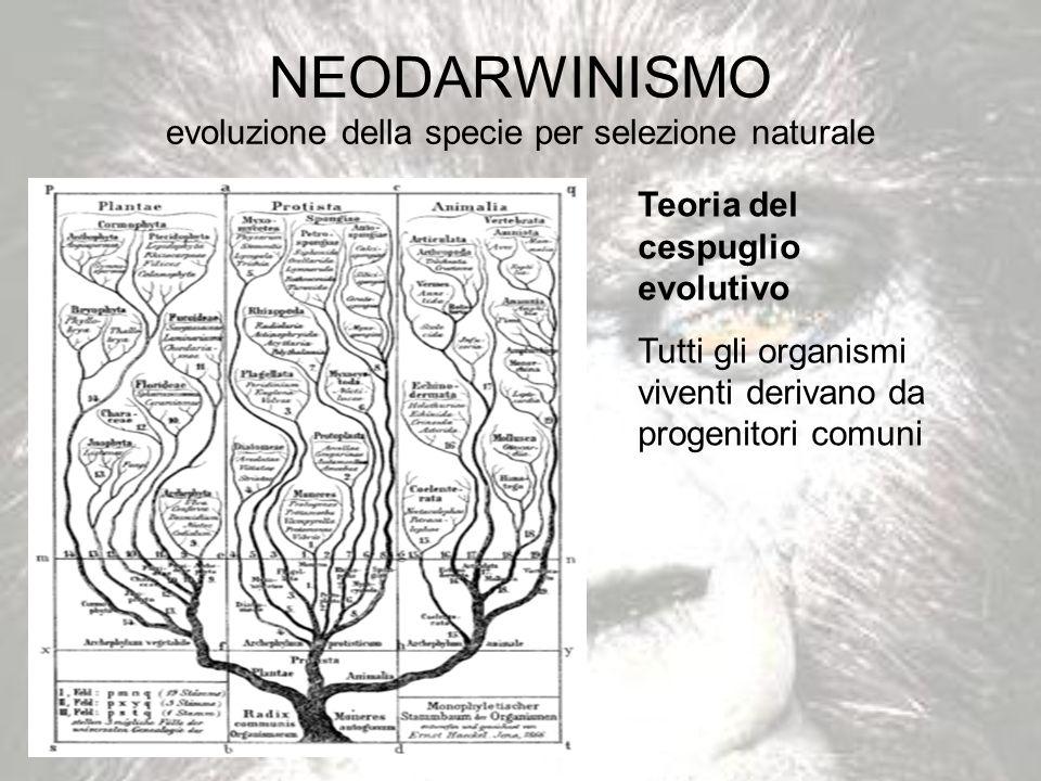 NEODARWINISMO evoluzione della specie per selezione naturale Teoria del cespuglio evolutivo Tutti gli organismi viventi derivano da progenitori comuni