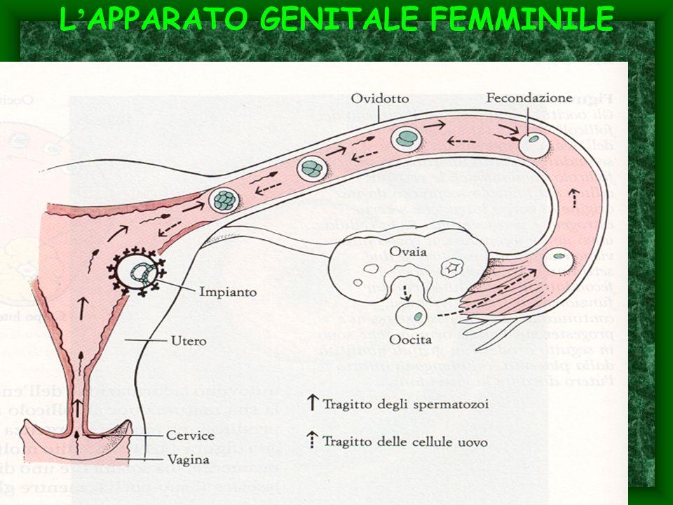 L APPARATO GENITALE FEMMINILE