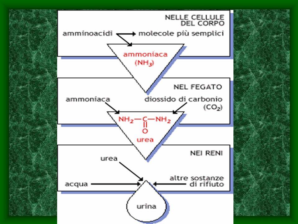 Ciascun rene ha la forma di un fagiolo, con una parte depressa, detta ilo, ed è posto nello spazio retroperitoneale.