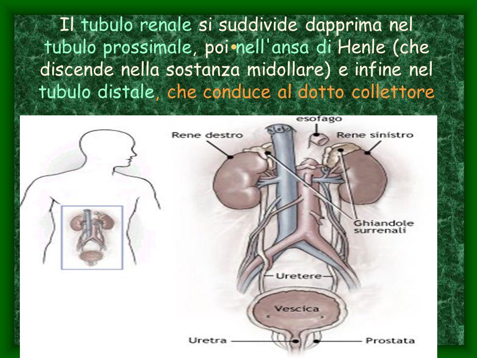 Il tubulo renale si suddivide dapprima nel tubulo prossimale, poi nell ansa di Henle (che discende nella sostanza midollare) e infine nel tubulo distale, che conduce al dotto collettore