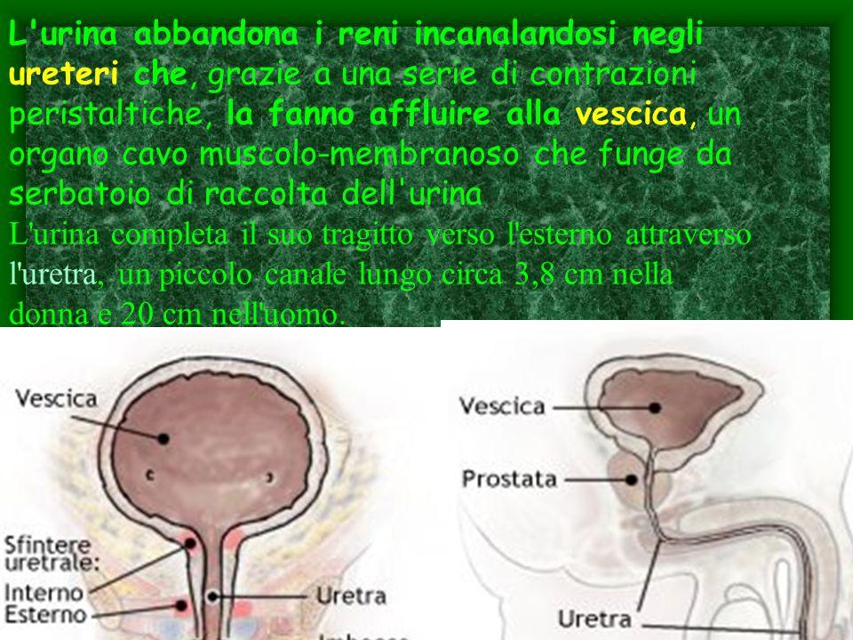 L'urina abbandona i reni incanalandosi negli ureteri che, grazie a una serie di contrazioni peristaltiche, la fanno affluire alla vescica, un organo c