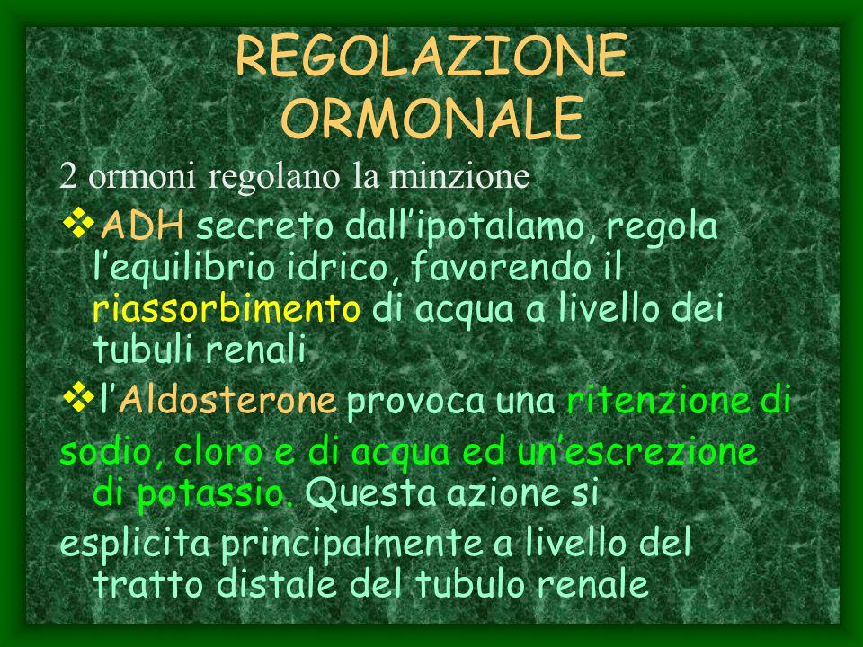 REGOLAZIONE ORMONALE 2 ormoni regolano la minzione ADH secreto dallipotalamo, regola lequilibrio idrico, favorendo il riassorbimento di acqua a livell