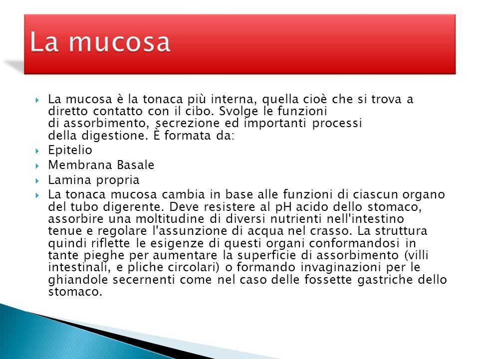 La mucosa è la tonaca più interna, quella cioè che si trova a diretto contatto con il cibo. Svolge le funzioni di assorbimento, secrezione ed importan