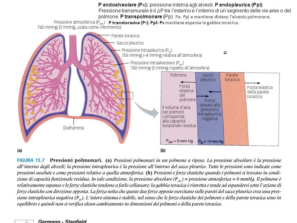 = P endoalveolare (P A ): pressione interna agli alveoli. P endopleurica (Ppl) Pressione transmurale è il P tra lesterno e linterno di un segmento del