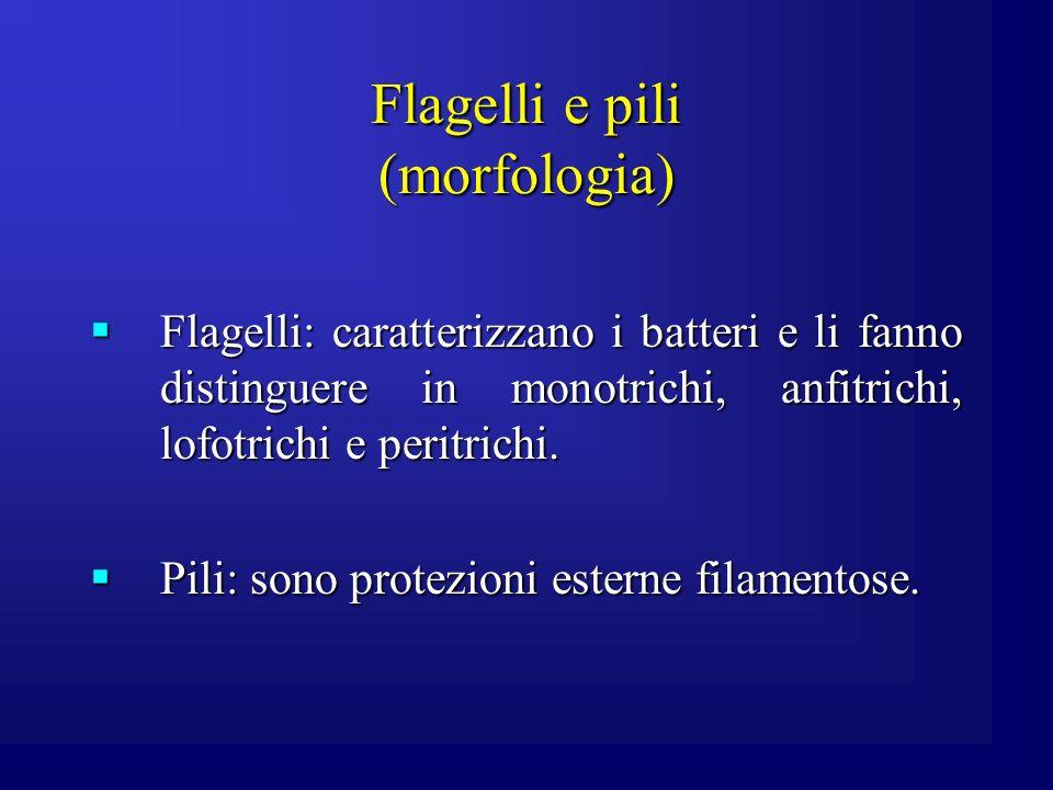 Flagelli e pili (morfologia) Flagelli: caratterizzano i batteri e li fanno distinguere in monotrichi, anfitrichi, lofotrichi e peritrichi. Flagelli: c