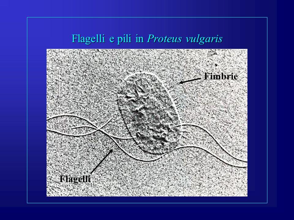 Flagelli e pili in Proteus vulgaris Flagelli Fimbrie