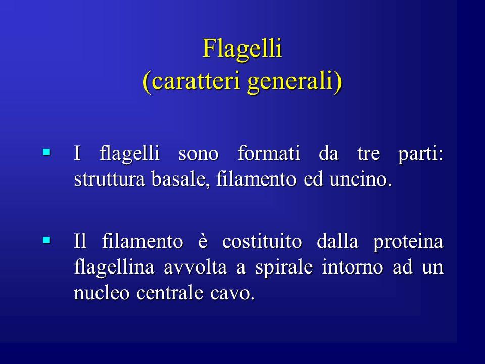 Flagelli (caratteri generali) I flagelli sono formati da tre parti: struttura basale, filamento ed uncino. I flagelli sono formati da tre parti: strut