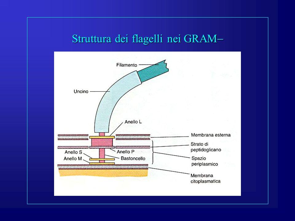 Struttura dei flagelli nei GRAM Struttura dei flagelli nei GRAM