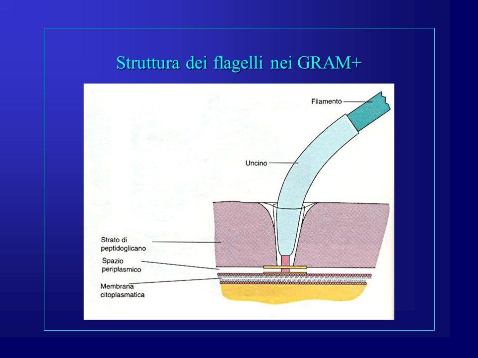 Struttura dei flagelli nei GRAM+