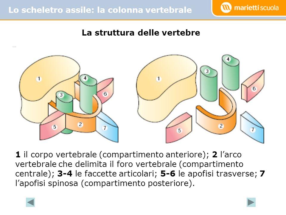 La struttura delle vertebre 1 il corpo vertebrale (compartimento anteriore); 2 larco vertebrale che delimita il foro vertebrale (compartimento centrale); 3-4 le faccette articolari; 5-6 le apofisi trasverse; 7 lapofisi spinosa (compartimento posteriore).