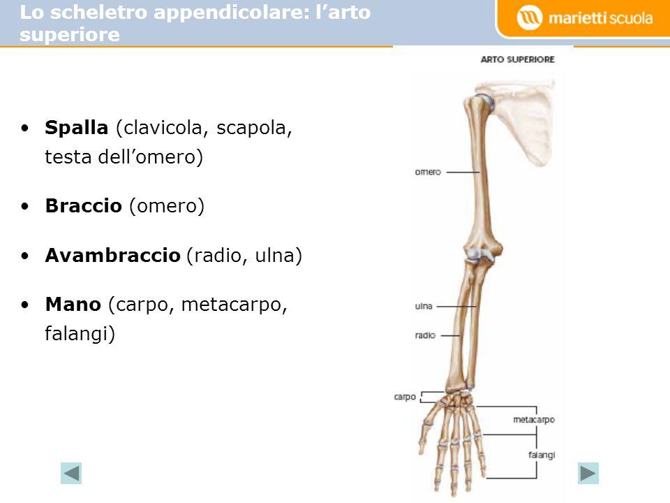 Spalla (clavicola, scapola, testa dellomero) Braccio (omero) Avambraccio (radio, ulna) Mano (carpo, metacarpo, falangi) Lo scheletro appendicolare: larto superiore