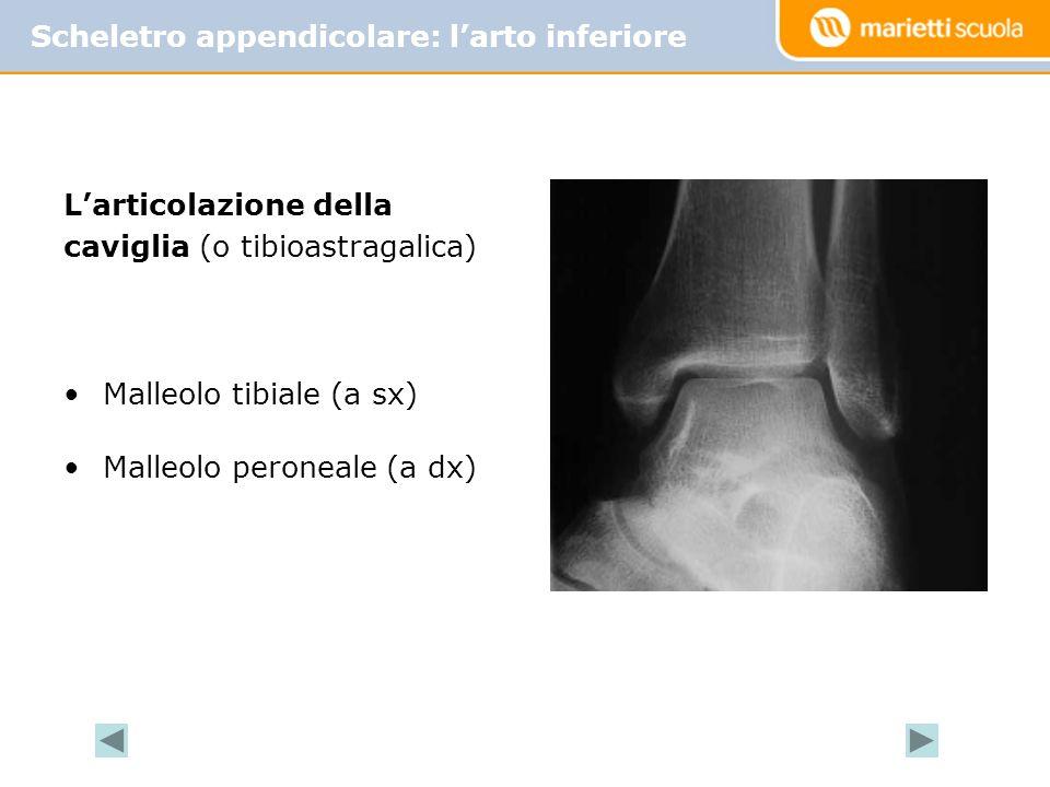 Larticolazione della caviglia (o tibioastragalica) Malleolo tibiale (a sx) Malleolo peroneale (a dx) Scheletro appendicolare: larto inferiore