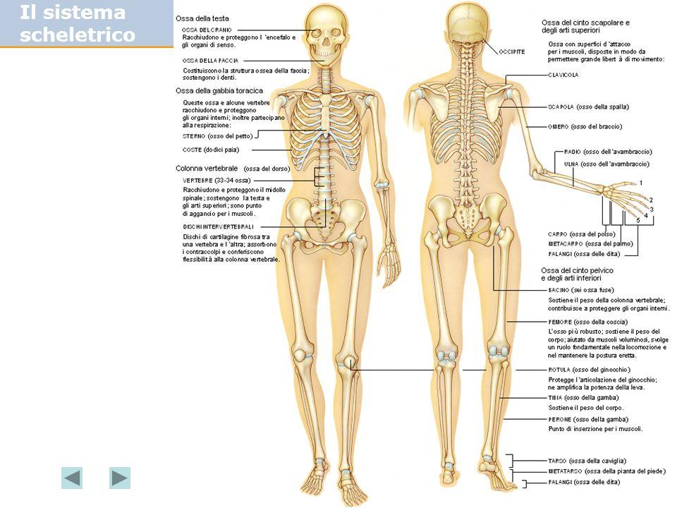 Il sistema scheletrico