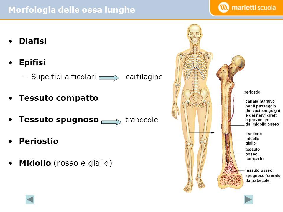 Diafisi Epifisi –Superfici articolari cartilagine Tessuto compatto Tessuto spugnoso trabecole Periostio Midollo (rosso e giallo) Morfologia delle ossa lunghe