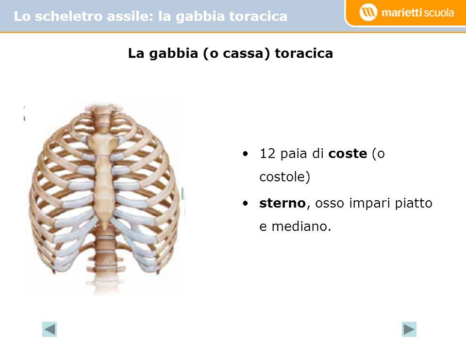 La gabbia (o cassa) toracica Lo scheletro assile: la gabbia toracica 12 paia di coste (o costole) sterno, osso impari piatto e mediano.