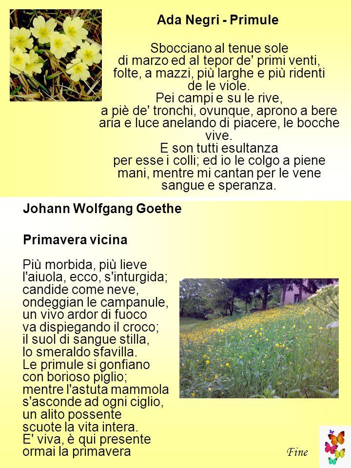 Ada Negri - Primule Sbocciano al tenue sole di marzo ed al tepor de' primi venti, folte, a mazzi, più larghe e più ridenti de le viole. Pei campi e su